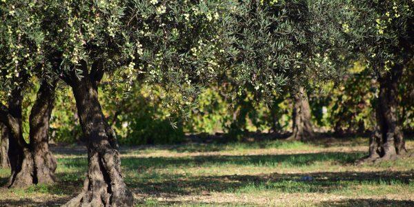 olives-1752199_1920
