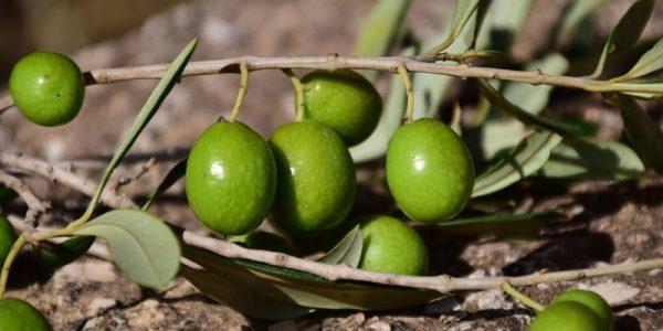 olives-1757221_1920